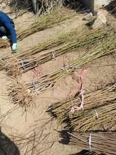 阳泉秋彤桃桃树苗抗旱抗寒的品种播种后管理图片