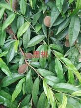 大同市血桃、黑桃桃树苗整形修剪品种分类图片
