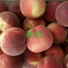 阳泉突围桃桃树苗基地提供种植技术种植发展好的原因分析图片
