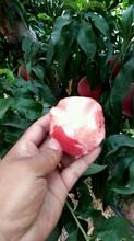 忻州市春雪桃桃树苗整形修剪品种分类种植效益采购流程图片