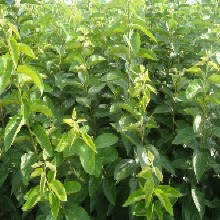 全紅梨梨樹苗北方種植什么品種好圖片