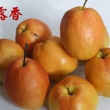圓黃梨梨樹苗北方種植什么品種好一級種苗不同公分價格圖片