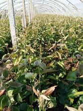 玉露香梨梨樹苗5公分修剪方法國家優質品種樹圖片