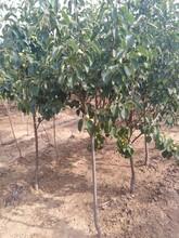 晚玉梨梨树苗种植土壤地势种子选择贮藏图片