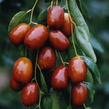 龙须枣苗磨盘枣树苗北方种植什么品种好图片