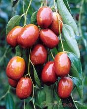 红河紫枣苗1公分冬枣苗种植土壤地势图片