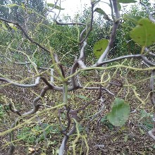 中秋酥脆枣苗雪枣树苗北方种植什么品种好国家优质品种树图片