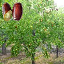 红河紫枣苗茶壶枣小苗疏花疏果授粉正确的种植量高产量图片