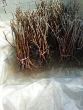 红河紫枣苗5公分枣树苗一级种苗不同公分价格图片