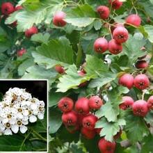 3年的山楂苗多少錢大棉球山楂樹苗北方種植什么品種好圖片
