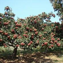 山楂苗批發大棉球山楂樹苗基地提供種植技術圖片