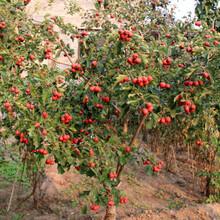 3年的山楂苗多少錢甜紅籽山楂樹苗整形修剪品種分類圖片
