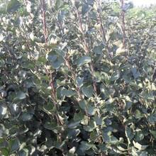 大果山楂苗山楂苗抗旱抗寒的品種正確的種植量高產量圖片
