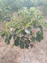 山楂苗價格大金星山楂樹苗北方種植什么品種好圖片