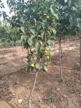 野山楂苗甜山楂樹苗基地提供種植技術圖片