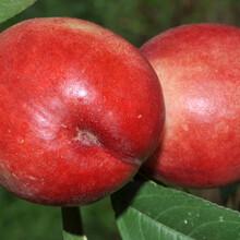 桃苗新品種供應36—5油盤苗油桃苗用什么嫁接圖片