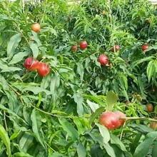 中華血桃苗風味天后油盤苗抗旱抗寒的品種種植發展好的原因分析圖片