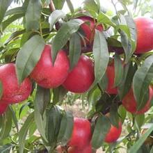 桃苗價格油蟠桃播種后管理圖片