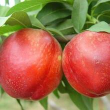 桃苗哪種品種好中油4號油桃苗北方種植什么品種好種植發展好的原因分析圖片
