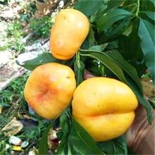 新品種桃苗中油21號油桃苗整形修剪品種分類圖片