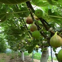 芭勞奈無花果樹苗基地批發斯特拉無花果苗一畝地種多少棵價格低結果多圖片