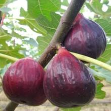 青皮無花果苗適合南方種植嗎目前最好的品種圖片