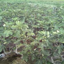 布蘭瑞克無花果苗好成活新疆早黃無花果樹苗一畝地種多少棵圖片