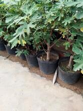 無花果苗一畝地種多少棵日本紫果無花果苗應該如何種植圖片