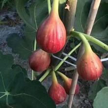 布蘭瑞克無花果苗好成活新疆早黃無花果樹苗規格齊全優質量大價格低結果多圖片