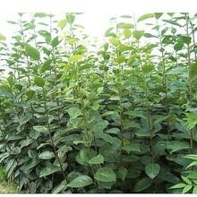 阜新柿子苗哪里買大秋甜柿樹苗品質好的怎么選擇圖片