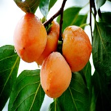 阜新柿子苗哪里買次郎甜柿樹苗售后一條龍服務低價出售圖片