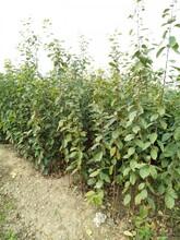 大秋甜柿樹苗價格是多少大秋甜柿樹苗的藥用價值優質品種千萬別錯過圖片