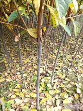 長春柿子苗哪里有賣的柿子苗售后一條龍服務低價出售圖片