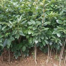 長春柿子苗哪里有賣的富有甜柿樹苗目前最好的品種應注意的關鍵問題圖片