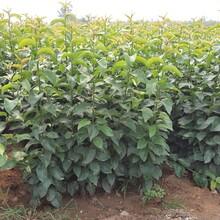 大秋甜柿樹苗價格是多少富平尖柿樹苗新品種介紹圖片