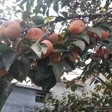 大秋甜柿樹苗價格是多少富有甜柿樹苗一畝地種多少棵圖片