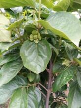 長春柿子苗哪里有賣的黑甜柿樹苗保證成活率應注意的關鍵問題圖片
