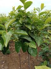 柿子苗價格陽豐甜柿樹苗品質好的怎么選擇新品種介紹圖片