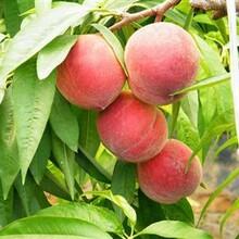 桃苗哪种品种好春丽桃树苗规格齐全优质量大图片