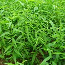 中华血桃苗秋彤桃树苗的品种介绍什么品种好推荐一个图片