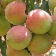 中华血桃苗黑桃树苗哪里有卖的价格低结果多图片