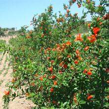 石榴苗價格泰山大紅石榴石榴苗哪里有賣的今年哪個品種好保成活圖片
