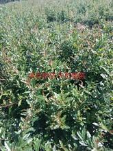 無籽石榴苗多少錢一棵大青皮甜石榴苗品質好的怎么選擇今年哪個品種好保成活圖片