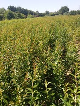 無籽石榴苗黑籽石榴樹苗一畝地種多少棵圖片