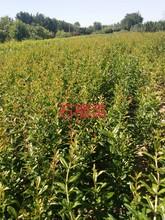 無籽石榴苗突尼斯軟籽石榴的藥用價值圖片