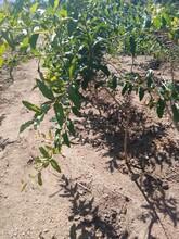 石榴苗批發泰山大紅石榴石榴苗適合什么地方種植什么品種好推薦一個圖片