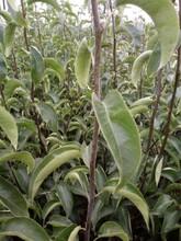 晚秋黄梨苗价格3公分绿宝石梨树苗售后一条龙服务今年哪个品种好保成活图片