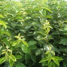 貴州刺梨苗3公分綠寶石梨樹苗適合什么地方種植圖片