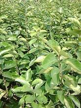 柱狀梨苗價格1公分晚秋黃梨圓黃梨樹苗品質好的怎么選擇圖片