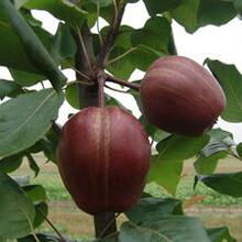 新品种梨苗1公分晚秋黄梨圆黄梨树苗种植方法种植技术什么品种好推荐一个图片